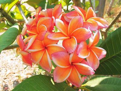 """""""hong Thong Ii"""" Fragrant Plumeria 7-12 Inche Have Rooted With Cer. Easy To Plant"""
