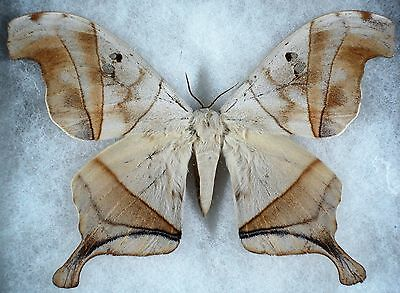 """Insect/Moth/ Moth ssp. - Male 5"""""""