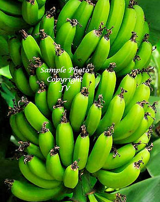 8 Seeds Dwarf Cavendish Banana Tropical plant Container Gardeing Musa acuminata