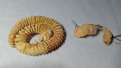 Pear Whelk and Kings Crown EGG CASES---- Oddities,Collectibles