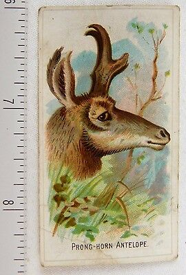 Lovely Prong-Horn Antelope Philadelphia Confections Caramel Trade Card F53