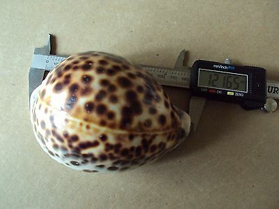 Cypraea Tigris Schilderiana,GIANT Hawaiian Tiger Rare Seashell,Shell Sz 121.65mm