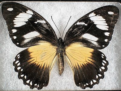 """Insect/Butterfly/ Papilio dardanus ssp. - Female 3"""" A-"""