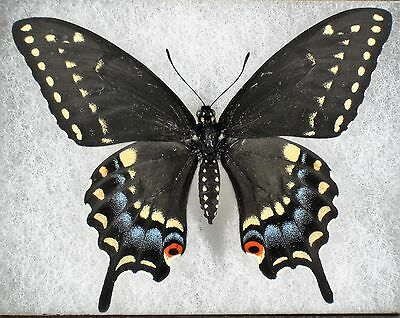 """Insect/Butterfly/ Papilio polyxenes asterius - Female 3"""""""