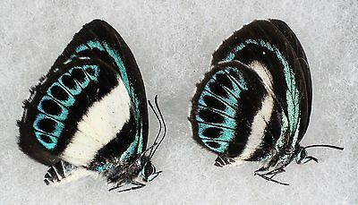 Insect/Butterfly/ Butterfly ssp. - Pair
