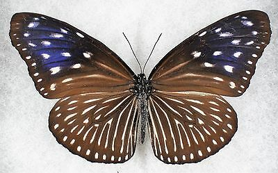 """Insect/Butterfly/ Butterfly ssp. - Female 3.5"""""""