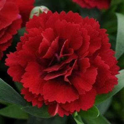 Pack x6 Dianthus Scent First® 'Patio Red' Pinks Perennial Plug Plants