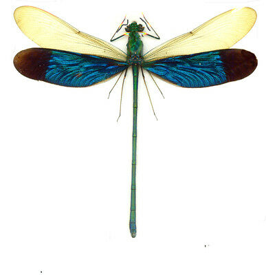 Taxidermy - real papered insects : Odonata : Neurobasis chinensis florida SPREAD