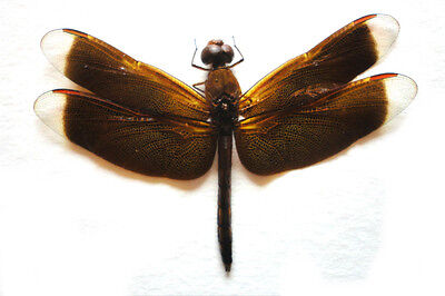 Taxidermy - real papered insects : Odonata : Neurothemis fluctuans SPREAD