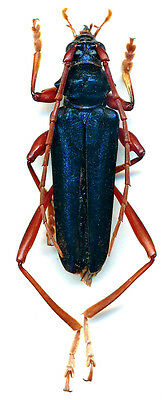 Taxidermy - real papered insects : Cerambycidae : Mecosaspis atripennis rufipes