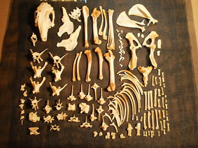 Taxidermy skeleton Rabbit real dissarticulated sorted by bone type