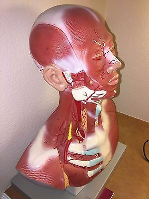 Altay Scientific Head and Neck Musculature Muscle Anatomical Model with manual