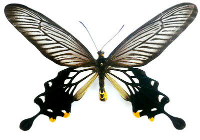 Taxidermy - real papered insects : Papilionidae : Losaria coon coon