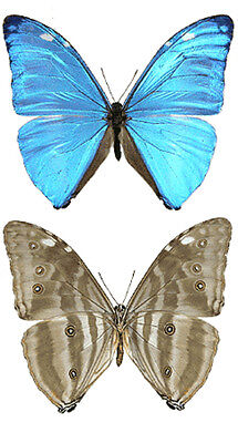 Taxidermy - real papered insects : Morphini : Morpho adonis halluaga
