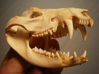 Taxidermy SKULL Opossum very clean nice 4 3/4  inches  great teeth