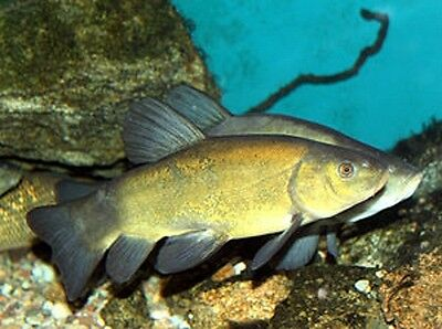 """Green Tench 2-3"""" - *Offer!* Live POND Fish"""