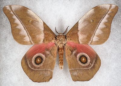 """Insect/Moth/ Moth ssp. - Male 4"""""""