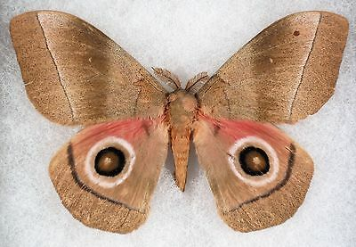 """Insect/Moth/ Moth ssp. - Male 4.5"""""""