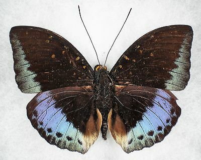 """Insect/Butterfly/ Butterfly ssp. - Male 3 1/4"""""""