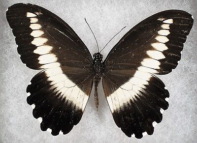 """Insect/Butterfly/ Papilio ssp. - Female 4"""""""