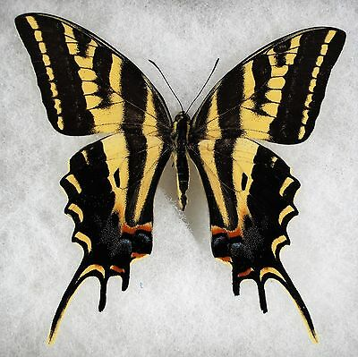 """Insect/Butterfly/ Papilio pilumnus - Male 3.5"""""""