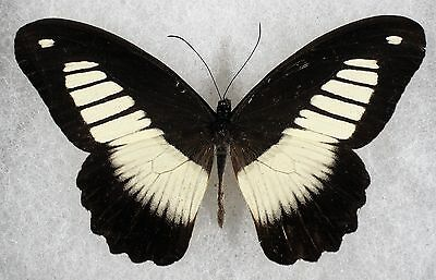 """Insect/Butterfly/ Papilio ssp. - Male 3.5"""""""