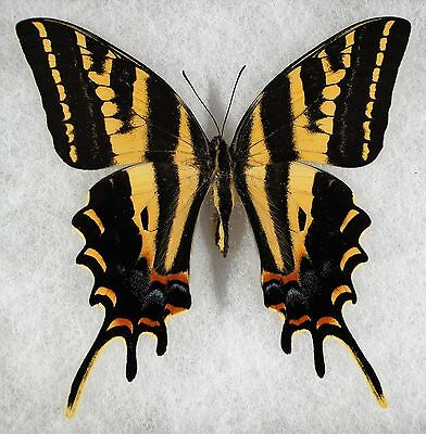 """Insect/Butterfly/ Papilio pilumnus - Female 3.5"""""""