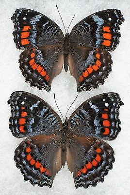 """Insect/Butterfly/ P. octavia - 2 Female Forms 2"""""""