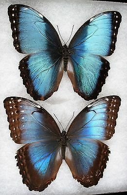 """Insect/Butterfly/ Morpho ssp. - Pair 4.5"""""""
