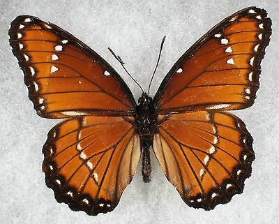 """Insect/Butterfly/ Limenitis archippus obsoleta - Male 2.5"""""""