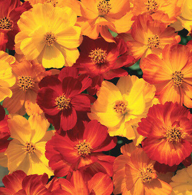 Mixed Cosmos Seed, Fiery Sunset, Sulfur Cosmos, Shorter Variety, Bulk Seed 400+