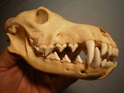 western Coyote Taxidermy SKULL 7 1/2   inches HUGE great teeth
