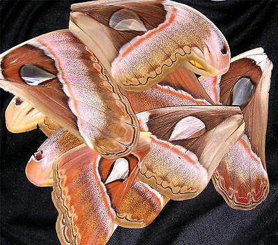 BUTTERFLY/MOTH/UNMOUNTED Huge Wings ATTACUS ATLAS MOTHS