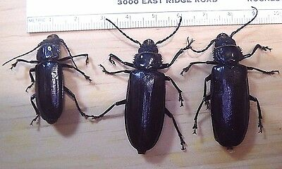 3X Hardwood Stump Borer Beetles Mallodon dasystomus Prioninae Cerambycidae F110