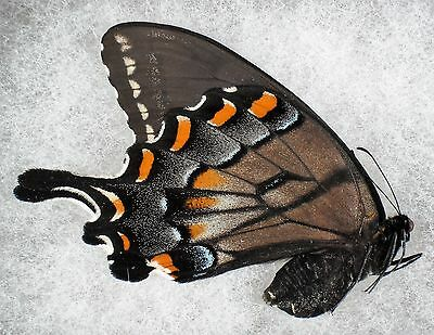 Insect/Butterfly/ Papilio glaucus - Female Unusual Color