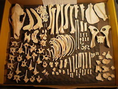 Taxidermy skeleton real coyote  disarticulated clean sorted by bone type female