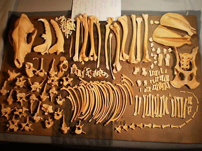 Taxidermy skeleton real coyote  disarticulated clean sorted by bone type male