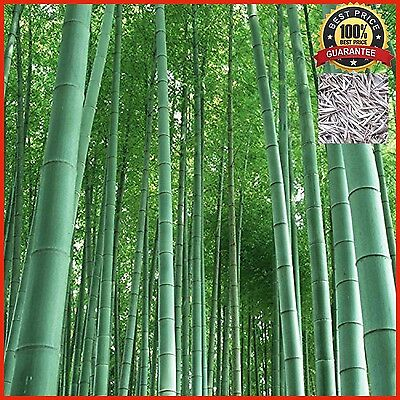 200+ Fresh Moso Bamboo Seeds Phyllostachys Pubescens Giant Bamboo - HARDY & RARE