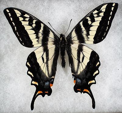 """Insect/Butterfly/ Papilio eurymedon - Male 3.5"""""""