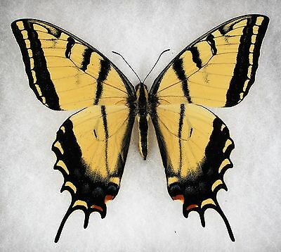 """Insect/Butterfly/ Papilio multicaudata pusillus - Male 4"""""""