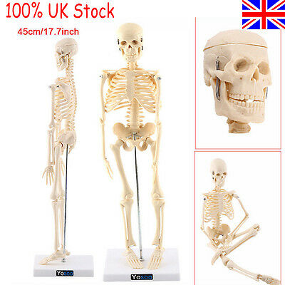 Life Size Human Skeleton Model &Stand Medical Anatomical Aid Anatomy Local Post