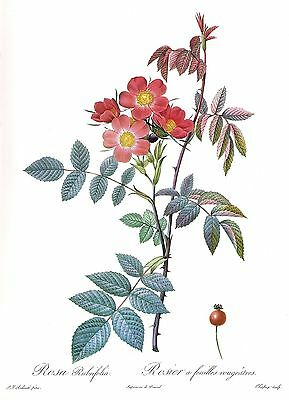 """1990 Vintage REDOUTE ROSE """"RED LEAVED ROSE"""" COLOR Art Print Lithograph"""
