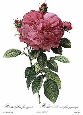 """1990 Vintage REDOUTE ROSE /""""ANEMONE FLOWER SWEETBRIAR/"""" Color Art Print Lithograph"""