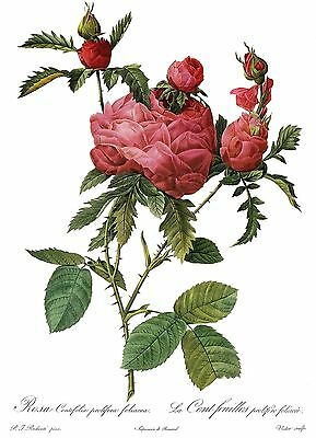 """1990 Vintage REDOUTE ROSE /""""CUMBERLAND ANGLICA RUBRA/"""" Color Art Print Lithograph"""