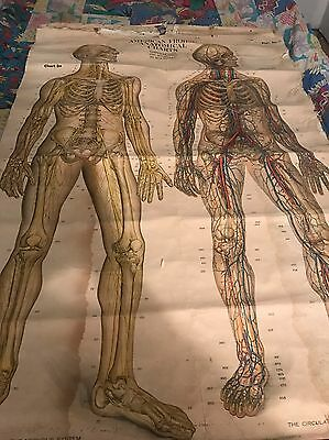 Antique 1918 American Frohse  Nervous System And Circulatory Syste Medical Chart