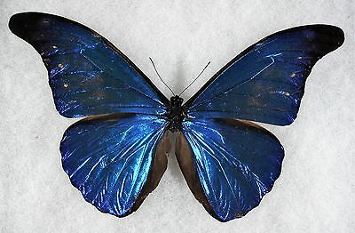 Insect/Butterfly/ Morpho ssp. - Male 5 3/4""