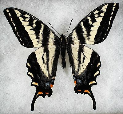 Insect/Butterfly/ Papilio eurymedon - Male 3.5""