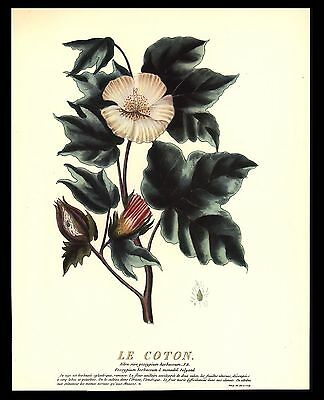 "Original 1938 ""le Coton"" Antique Flowers Botanical Repro Art Print By Alyon"