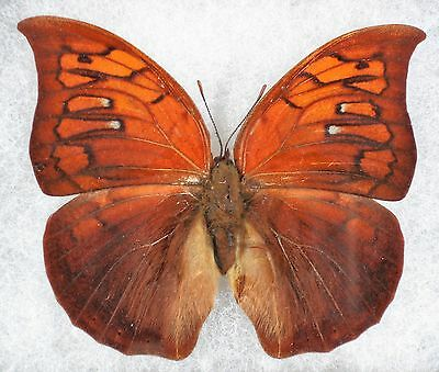 Insect/Butterfly/ Anaea tyrianthina - Female 3""