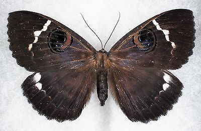 Insect/Moth/ Moth ssp. - Female 3 3/4""